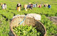 अल्मोड़ा में लगेगी चाय फैक्ट्री