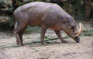 जंगली सुअर ने महिला को दी दर्दनाक मौत...