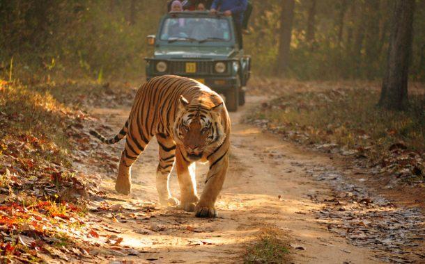 तेज रफ्तार गाड़ी ने बाघ को मारी टक्कर...